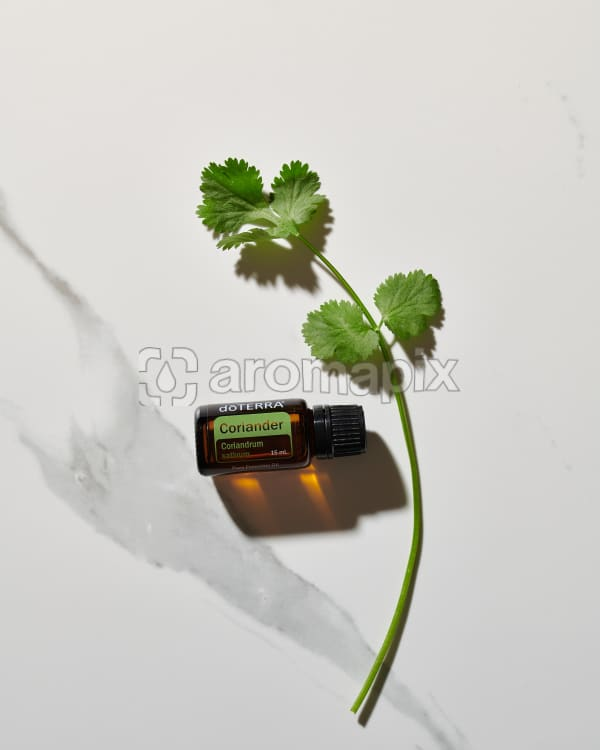 doTERRA Coriander essential oil and a stem of coriander leaves in direct sunlight on a white marble background.