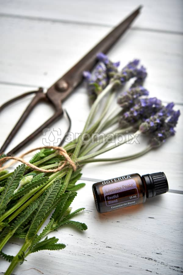 doTERRA Lavender Peace, vintage scissors and lavender stems tied with twine on white rustic wooden background.