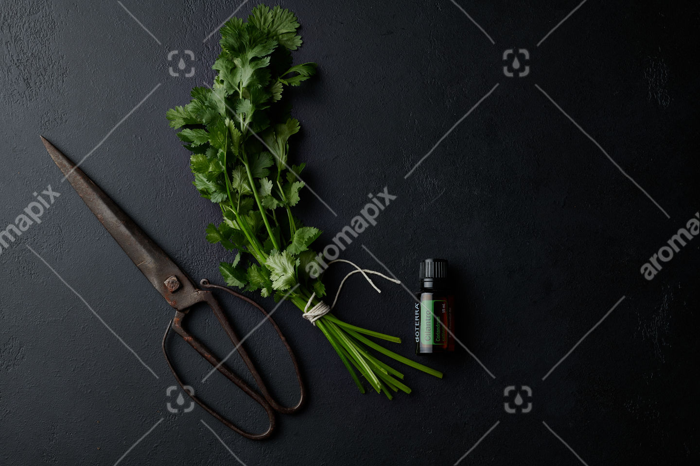 doTERRA Cilantro with scissors and a coriander bunch