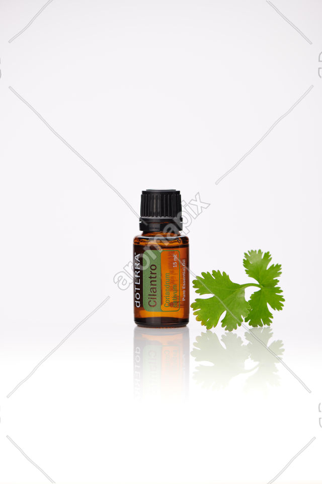 doTERRA Cilantro and cilantro leaves on white