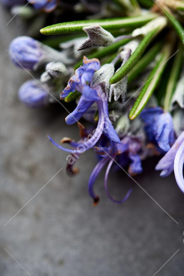 Rosemary flowers in closeup