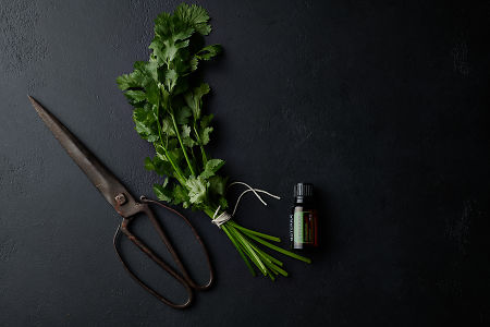 doTERRA Coriander with vintage  scissors and a coriander bunch on a black stone background.