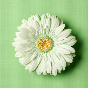 Close up of a white flower with a green tinge on a green textured background.