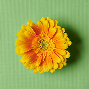 Stunning yellow gerbera flower in close up on a green textured background.
